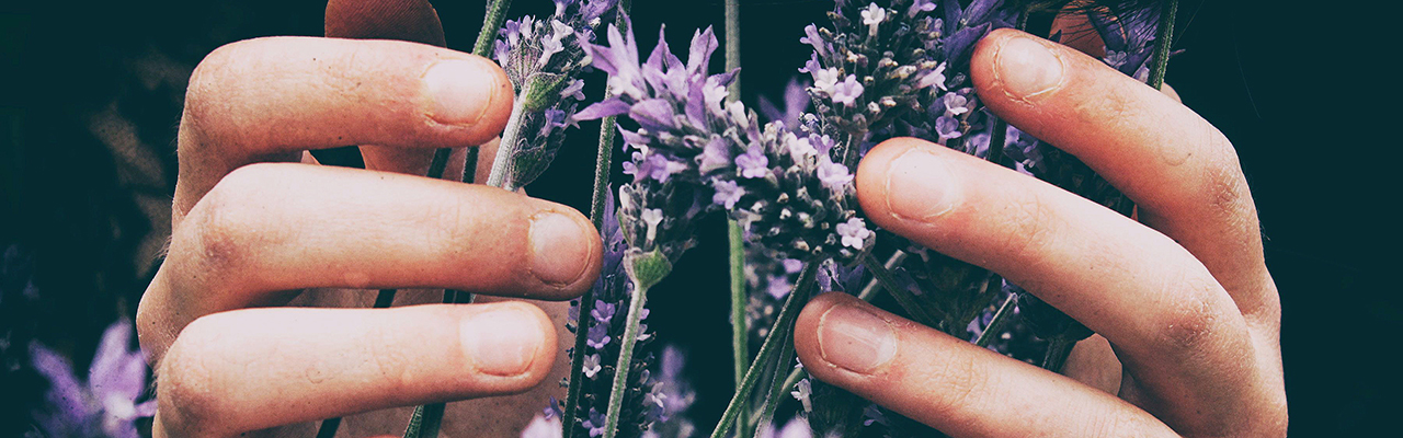 lavendar in hands